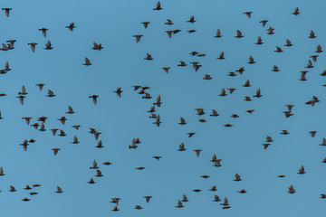 starlings flying together in blue sky, thick cloud of birds