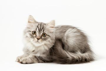 Scottish straight silver tabby spotted long hair kitten lying on white background