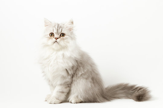Scottish straight silver tabby spotted long hair kitten sitting on white background