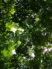 Green leaves for background