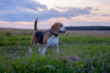 Beagle dog on walk in autumn at sunset