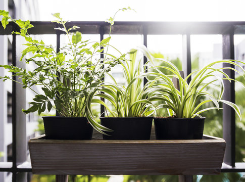 Home and garden concept of spider plant and fern in pot on the balcony