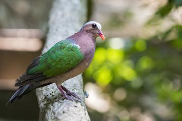 Image of bird (Common Emerald Dove) on nature background.  Animals.