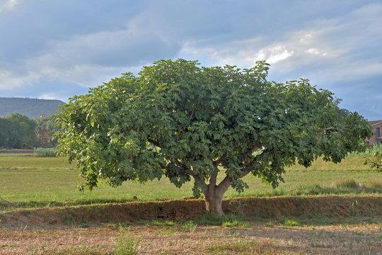 tree fig in Catalonia (Girona)