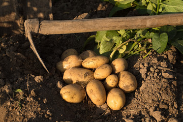 Potato. Fresh Young Yellow Potatoes On Ground With Garden Tool Hoe Top View. Harvesting Potatoes.