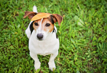 Adorable Funny Dog Jack Russell Terrier Sitting on the Grass With Big Yellow Ficus's Leaf on Head. Seasons Change Concept. High Angle View