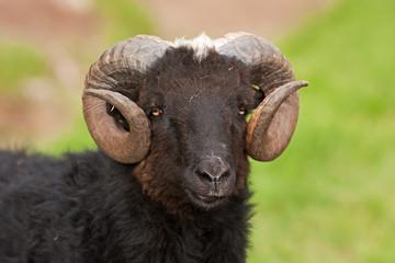 Sheep, Faroe island