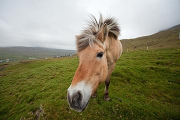 Horse, Faroe island