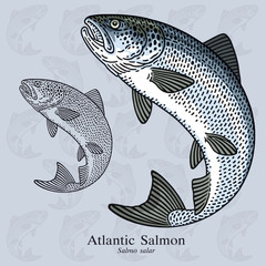 Atlantic Salmon. Vector illustration for artwork in small sizes. Suitable for graphic and packaging design, educational examples, web, etc.