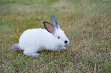 Fluffy white little rabbit with red eyes and black nose, on green grass