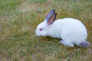 Cute white little rabbit with red eyes, walks on green grass