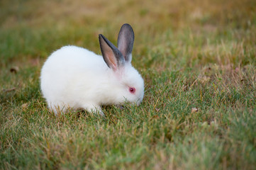 Tiny fluffy white rabbit with red eyes and black ears, eats green grass