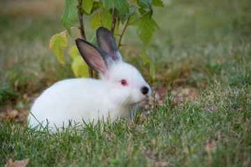 Cute little fluffy white rabbit with red eyes and black ears, next to a young currant bush.
