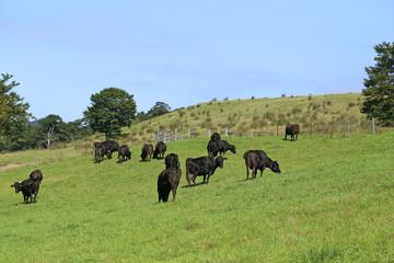 高原牧場の牛の群れ