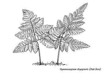 Oak fern illustration, drawing, engraving, ink, line art, vector