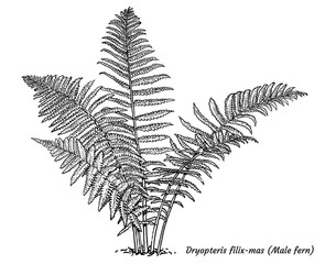 Male fern illustration, drawing, engraving, ink, line art, vector