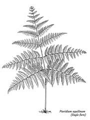 Eagle fern illustration, drawing, engraving, ink, line art, vector