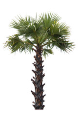 Palm tree isolated on white background with clipping path.