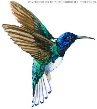 Hummingbird watercolor illustration.