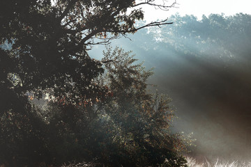 God beams - coniferous forest early in the morning