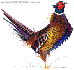 bird pheasant. Watercolor illustration