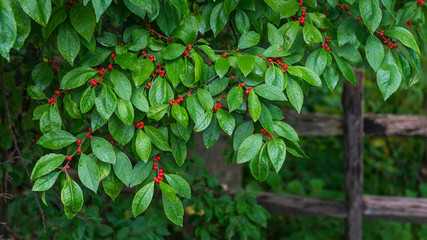 Close up of a winterberry bush with green leaves and red berries in front of an old wooden fence Wall mural
