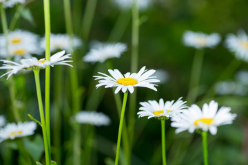 the white daisy flowers on the background of green grass