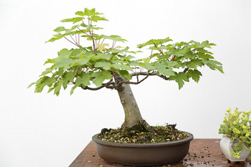 Norway maple (acer platanoides) bonsai on a wooden table and white background