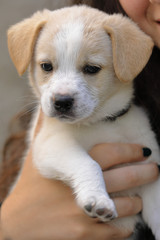 a puppy of white and brown dog in his arms