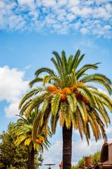 Les palmiers dattier de Perpignan