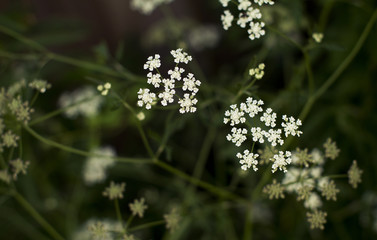 little white flowers on blurred green background