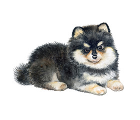 Pomeranian puppy isolated on white background. Pedigree dog. Watercolor. Illustration. Template