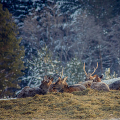 Many Roe deer run over a meadow in winter