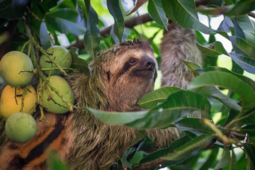 wild 3 toed sloth hanging in a tree smiling at the camera