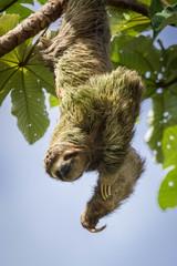 wild three toed sloth hanging upside down from a tree with smiling face