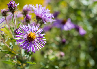 New England American-aster