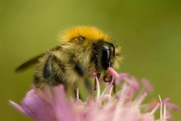 Bumble bee on autumn flower.
