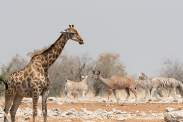 Animals of Etosha