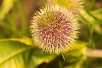 Globe Thistle Thornbush Flower Head.