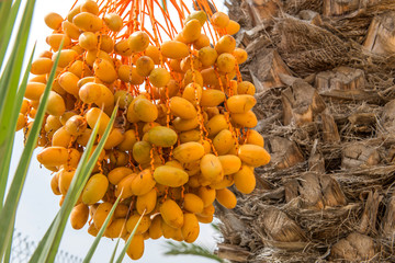 Dates are growing on a palm tree. Spain