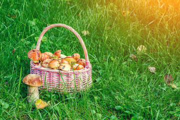 A basket of mushrooms Suillus on a green lawn