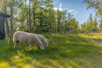 Poster Rhino Sheeps eating grass in the Rondane National Park in Norway - 1