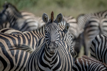 Zebra starring at the camera in Chobe.