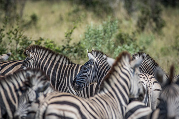 Zebra in between a herd of Zebras.