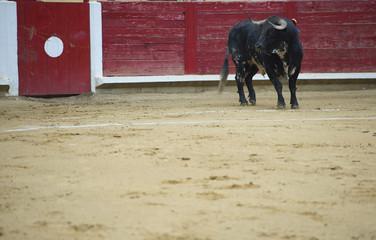 Bull in a bullring.