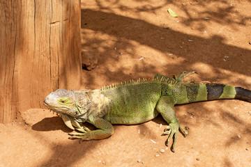 Green Iguana, Lizard.