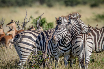 Group of Zebras bonding in Chobe.