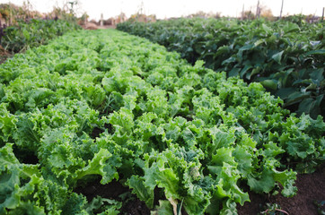 Rows of salad on a large field