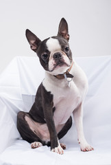 A beautiful young boston terrier dog isolated in a white studio on white sheets. the boston terrier dog has big pointy ears and is very cute.