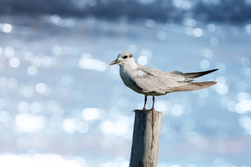 Wall Mural - Seagull standing on a wooden pole, water bokeh background, freedom symbol concept.  Bird watching and photography is a good hobby to educate wildlife reserve attitude..
